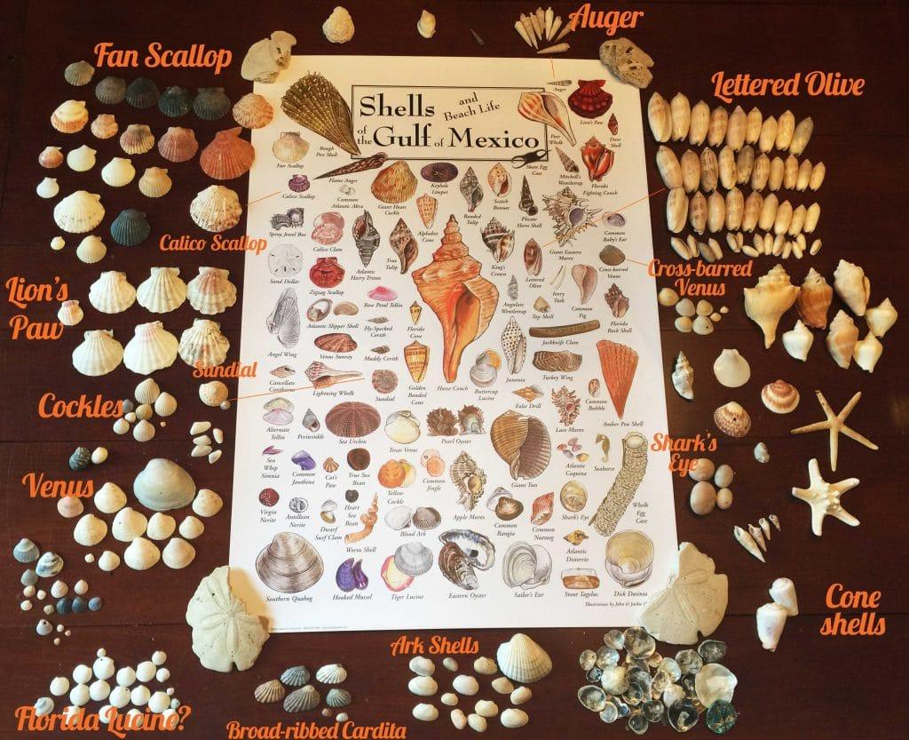 Seashells found in Panama City Beach