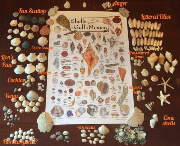 Seashells found in Panama City Beach with Poster